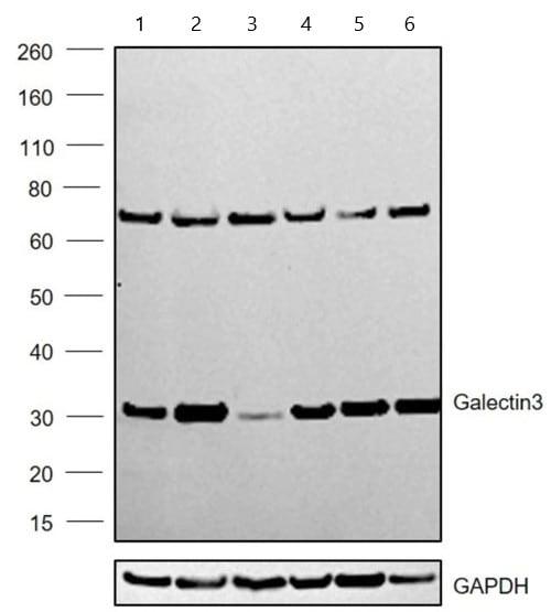 Western blot - Anti-Galectin 3 antibody [A3A12] (ab2785)
