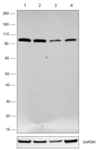 Western blot - Anti-KPNB1 antibody [3E9] (ab2811)