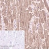 Immunohistochemistry (Formalin/PFA-fixed paraffin-embedded sections) - Anti-SERCA2 ATPase antibody [IID8] (ab2817)