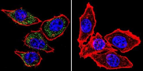 Immunocytochemistry/ Immunofluorescence - Anti-Calcium Pump pan PMCA ATPase antibody [5F10] (ab2825)