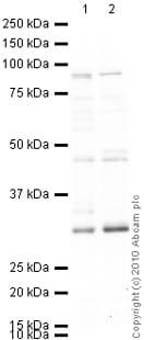 Western blot - Anti-Dnmt3b antibody (ab2851)