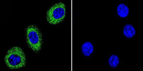 Immunocytochemistry/ Immunofluorescence - Anti-pan ATPase Alpha antibody [M7-PB-E9] (ab2871)