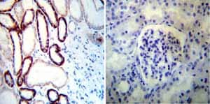 Immunohistochemistry (Formalin/PFA-fixed paraffin-embedded sections) - Anti-alpha 1 Sodium Potassium ATPase antibody [M8-P1-A3] (ab2872)