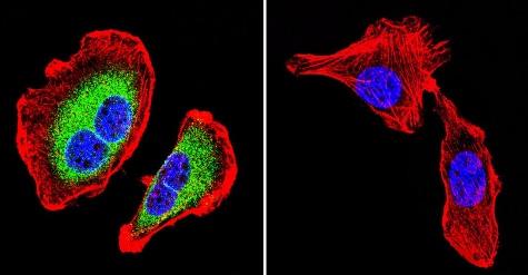 Immunocytochemistry/ Immunofluorescence - Anti-ATP1B1 antibody [M17-P5-F11] (ab2873)