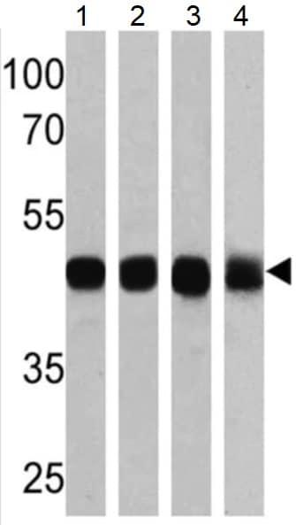Western blot - Anti-ATP1B1 antibody [M17-P5-F11] (ab2873)