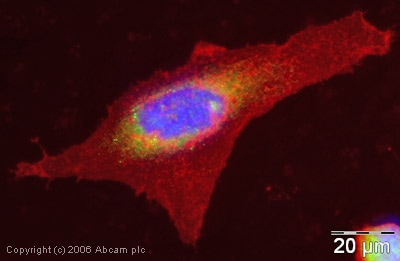 Immunocytochemistry/ Immunofluorescence - Anti-EEA1 antibody - Early Endosome Marker (ab2900)