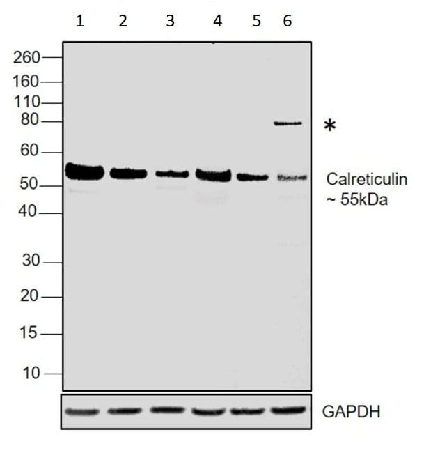Western blot - Anti-Calreticulin antibody - ER Marker (ab2907)