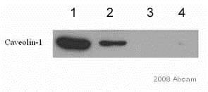 Immunoprecipitation - Anti-Caveolin-1 antibody (ab2910)