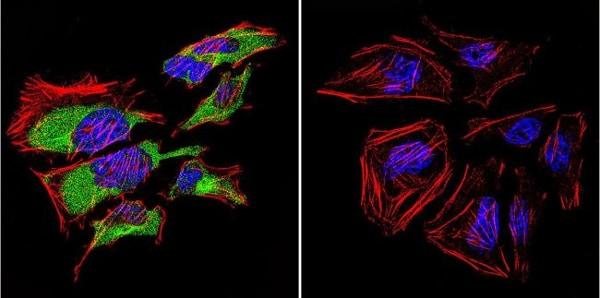 Immunocytochemistry - Anti-Caveolin-3 antibody - Caveolae Marker (ab2912)