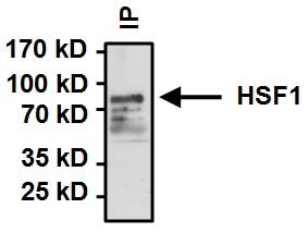 Immunoprecipitation - Anti-HSF1 antibody (ab2923)