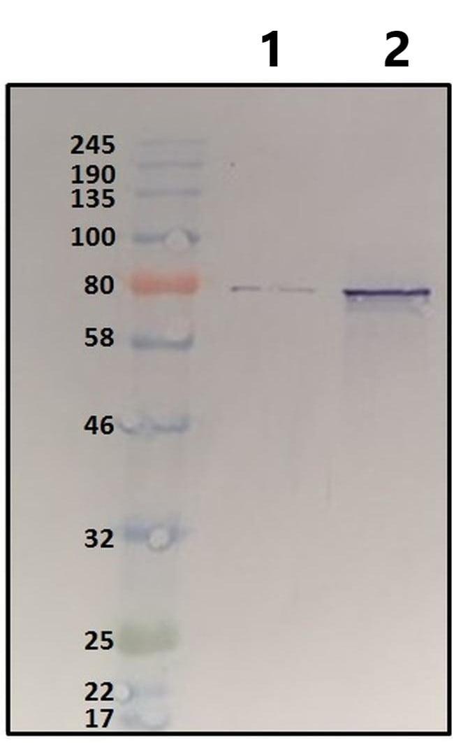 Western blot - Anti-HSF1 antibody (ab2923)