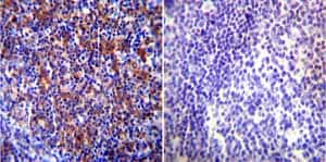 Immunohistochemistry (Formalin/PFA-fixed paraffin-embedded sections) - Anti-Hsp90 beta antibody (ab2927)
