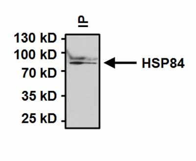 Immunoprecipitation - Anti-Hsp90 beta antibody (ab2927)