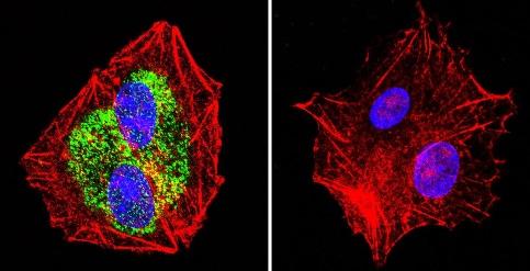Immunocytochemistry/ Immunofluorescence - Anti-Hsp90 beta antibody (ab2927)