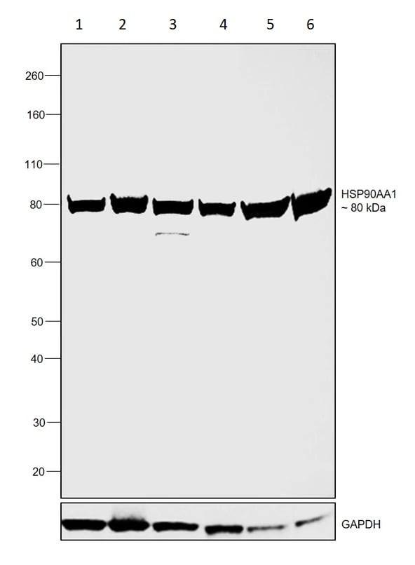 Western blot - Anti-Hsp90 alpha antibody (ab2928)
