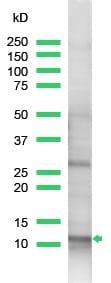 Western blot - Anti-ROC1 antibody (ab2977)