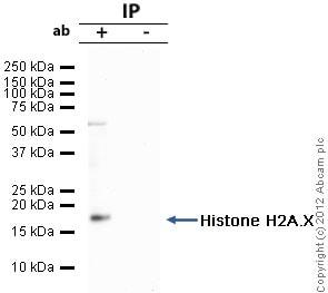 Immunoprecipitation - Anti-Histone H2A.X antibody - ChIP Grade (ab20669)