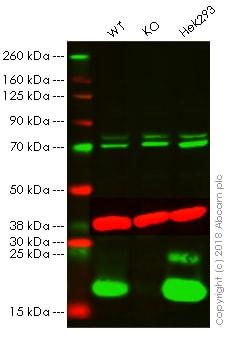 Western blot - Anti-Histone H2A.X antibody - ChIP Grade (ab20669)