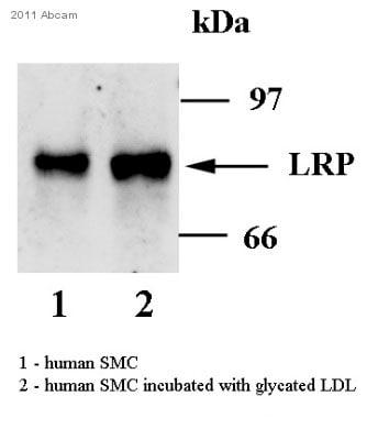 Western blot - Low Density LRP antibody [8B8] (ab20753)