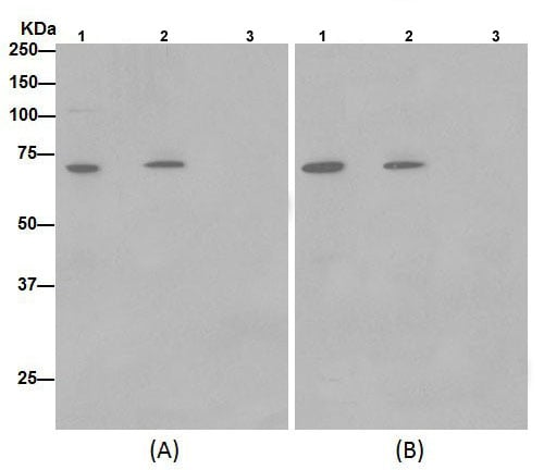 Immunoprecipitation - Anti-SLC25A12 antibody [EPR16294] (ab200201)