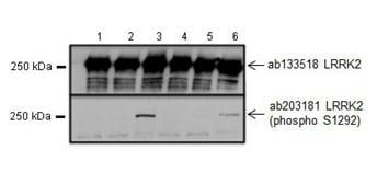 Western blot - Anti-LRRK2 (phospho S1292) antibody [MJFR-19-7-8] (ab203181)