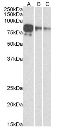 Western blot - Anti-Myc tag antibody [9E10] (ab206486)