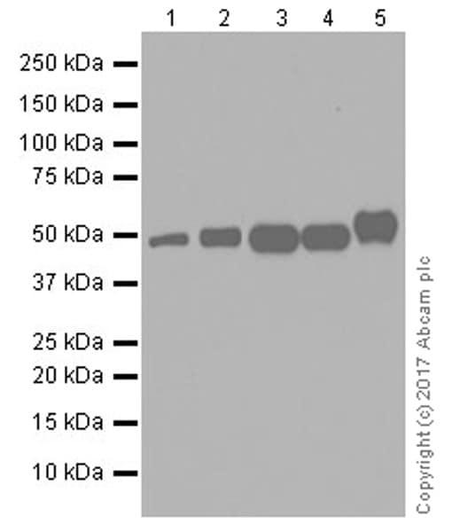 Western blot - Anti-TRIM21/SS-A antibody [EPR20290] (ab207728)