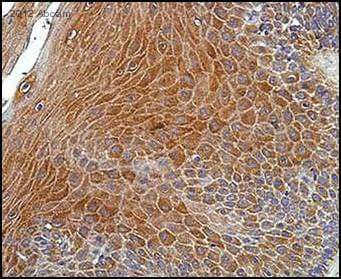 Immunohistochemistry (Formalin/PFA-fixed paraffin-embedded sections) - Anti-DLC1 antibody (ab21200)