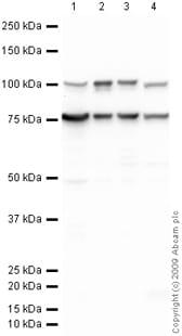 Western blot - Anti-GRP78 BiP antibody (ab21685)