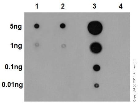 Dot Blot - Anti-Erk1 (pT202/pY204) + Erk2 (pT185/pY187) antibody [EP197Y] - BSA and Azide free (ab214171)