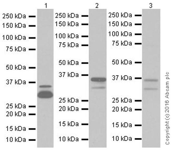 Western blot - Anti-Annexin A1/ANXA1 antibody [EPR19342] (ab214486)
