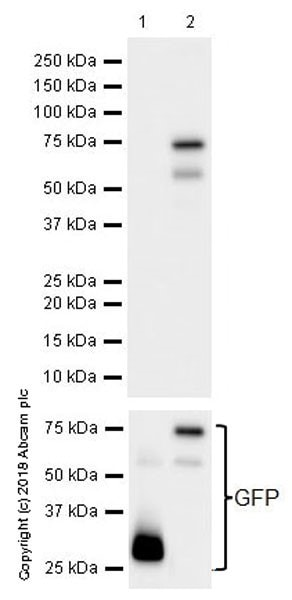 Western blot - Anti-FOXP3 antibody [EPR22102-37] (ab215206)