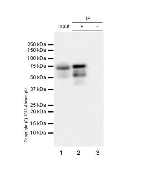 Immunoprecipitation - Anti-FOXP3 antibody [EPR22102-37] (ab215206)