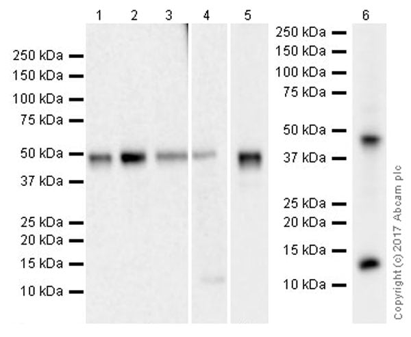 Western blot - Anti-TGF beta 1 antibody [EPR21143] (ab215715)