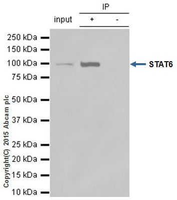 Immunoprecipitation - Anti-STAT6 antibody [YE361] - BSA and Azide free (ab215995)