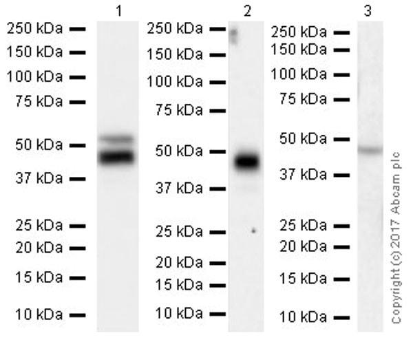 Western blot - Anti-RAGE antibody [EPR21171] (ab216329)