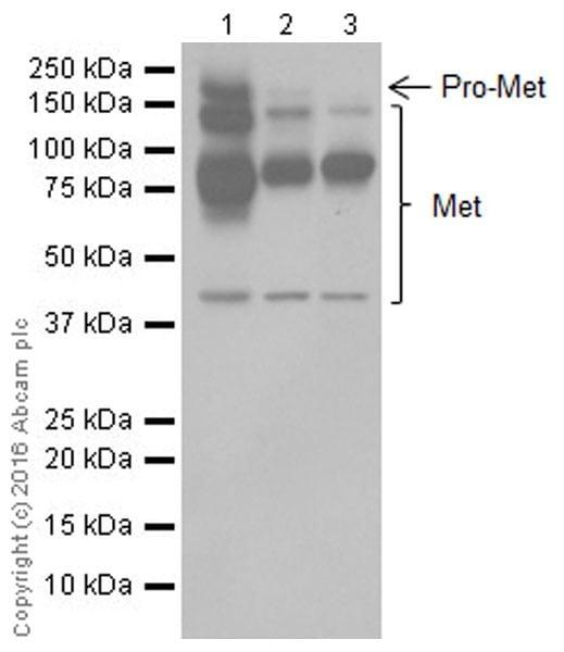 Western blot - Anti-Met (c-Met) antibody [EPR19067] (ab216574)