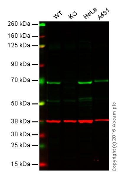 Western blot - Goat anti-Rabbit IgG H&L (IRDye® 800CW) preadsorbed (ab216773)