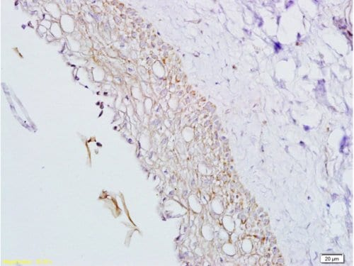 Immunohistochemistry (Formalin/PFA-fixed paraffin-embedded sections) - Anti-Inhibin alpha antibody (ab216969)