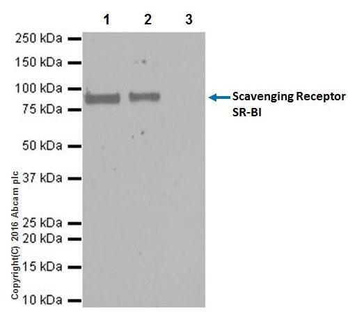 Immunoprecipitation - Anti-Scavenging Receptor SR-BI antibody [EPR20190] (ab217318)