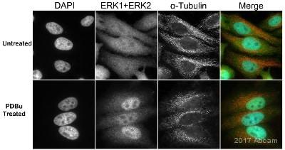 Immunocytochemistry/ Immunofluorescence - Anti-ERK1 + ERK2 antibody [EPR17526] - BSA and Azide free (ab218017)