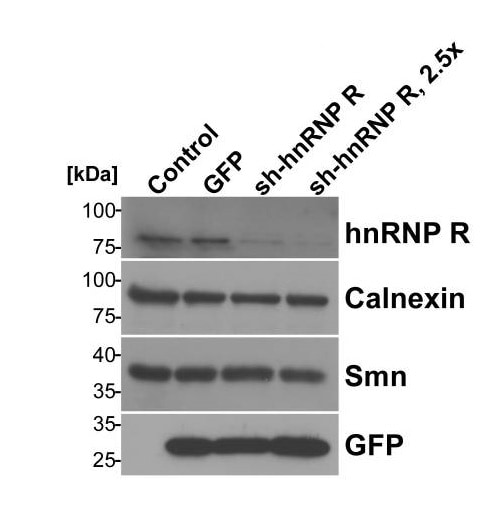 Western blot - Anti-Calnexin antibody - ER Marker (ab22595)