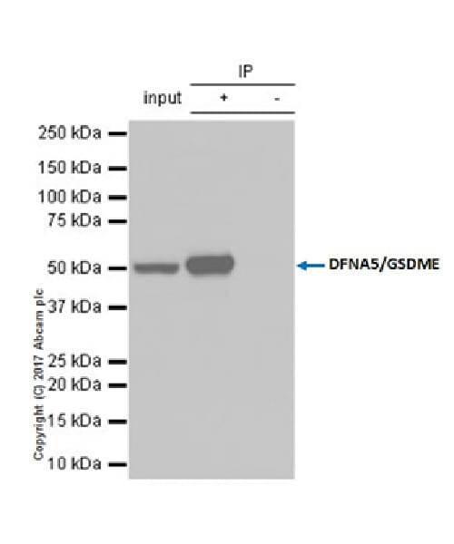 Immunoprecipitation - Anti-DFNA5/GSDME antibody [EPR19859-60] - C-terminal (ab221843)