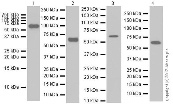 Western blot - Anti-PAK1 antibody [EPR20048] (ab223849)