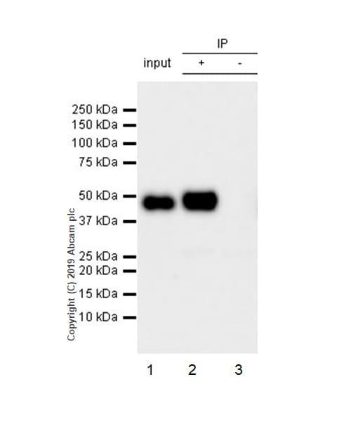 Immunoprecipitation - Anti-Tissue Factor antibody [EPR22548-232] (ab228968)