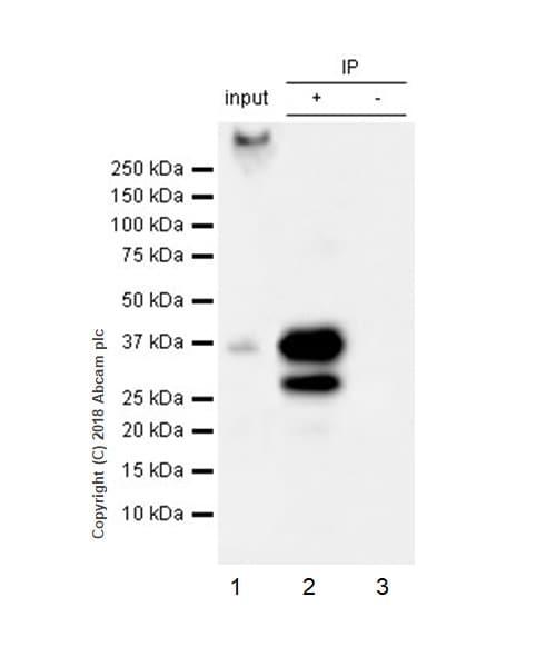 Immunoprecipitation - Anti-SCD1 antibody [EPR21963] (ab236868)