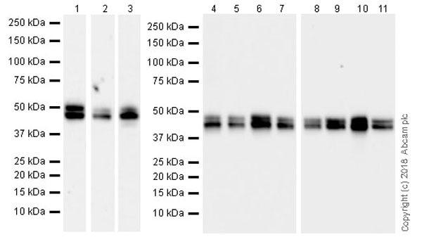 Western blot - Anti-NeuN antibody [EPR21906] (ab236870)