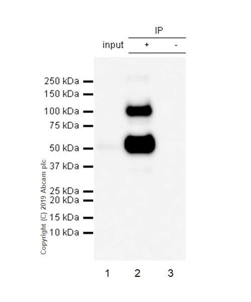 Immunoprecipitation - Anti-CD4 antibody [CAL4] (ab237722)