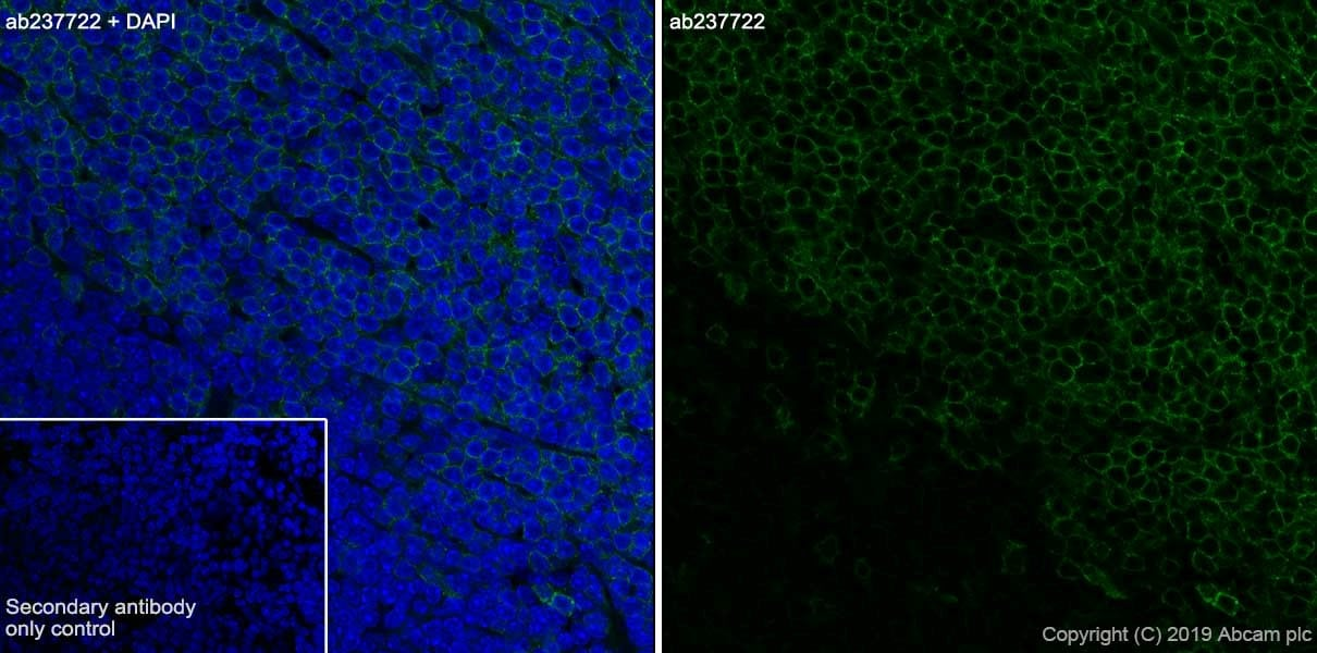 Immunohistochemistry (Frozen sections) - Anti-CD4 antibody [CAL4] (ab237722)