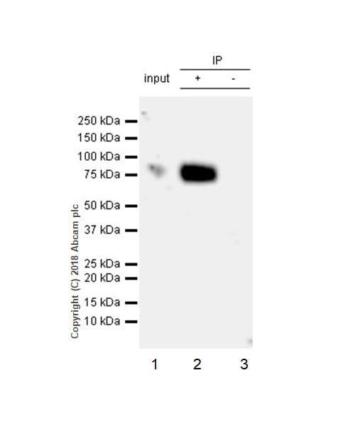 Immunoprecipitation - Anti-CD86 antibody [EPR21962] (ab239075)